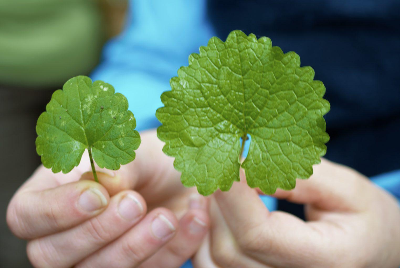 Découverte des plantes sauvages comestibles Lille